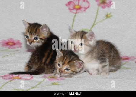 Cats, young, lie, zusammenkuscheln, bed, animals, mammals, pets, small cats, Felidae, domesticates, house cat, young animal, kitten, three, behaviour, cuddle, doze together, siblings, small, affectionately, awkward, clumsy, sweetly, striped, love, suture, tiredly, cohesion, affection, togetherness, young animals, animal babies, inside,
