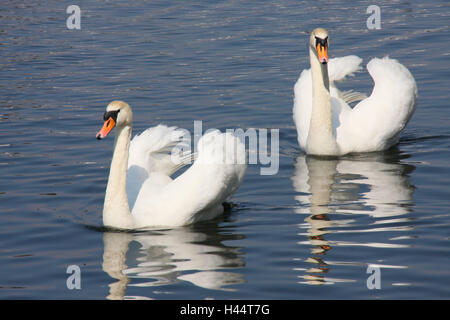 Lake, swans, couples, animals, hump swans, birds, two, swim, couple, in pairs, Poland, nature, - Stock Photo