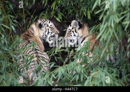 Siberian tigers, Panthera tigris altaica, young animals, - Stock Photo