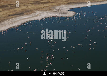 Africa, Kenya, brine Bogoria, flamingos, flight, from above, - Stock Photo