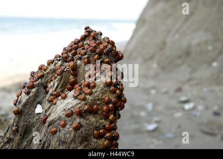 Ladybird on a piece of wood, - Stock Photo