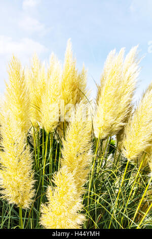 pampas grass cortaderia selloana flowering flowers plant. Black Bedroom Furniture Sets. Home Design Ideas