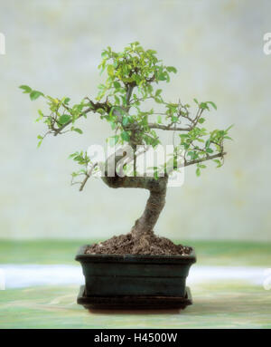 potted bonsai stock photo royalty free image 6330360 alamy. Black Bedroom Furniture Sets. Home Design Ideas