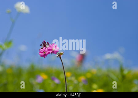 Spring meadow, red campion, Silene dioica, - Stock Photo