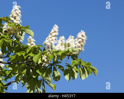 Common horse chestnut, Aesculus, hippocastanum, branch, blossom, heaven, spring, plants, soap tree plants, trees, - Stock Photo