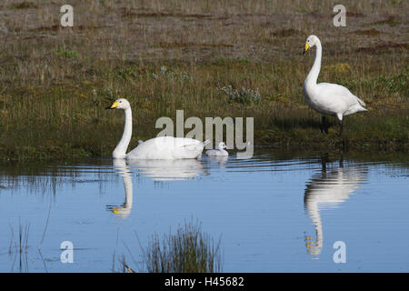 whooper swans, young animals, water, - Stock Photo