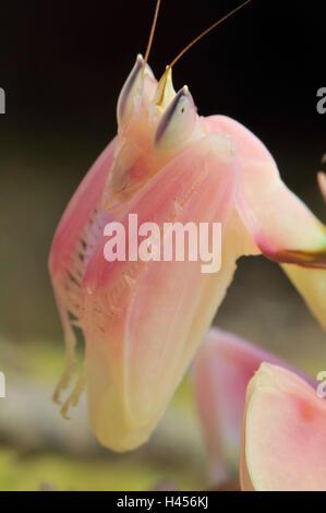 Praying mantis, orchid mantis, attack position, portrait, tentacles, - Stock Photo