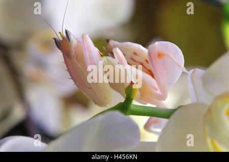 Praying mantis, Orchid mantis, attack position, - Stock Photo