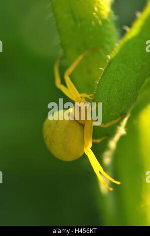 Goldenrod crab spider, yellow, female, - Stock Photo