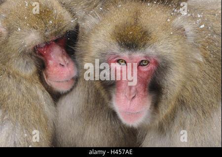 Japanese macaques, Macaca fuscata, - Stock Photo