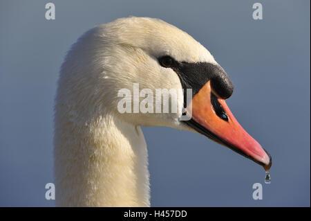 Hump swan, Cygnus olor, portrait, - Stock Photo