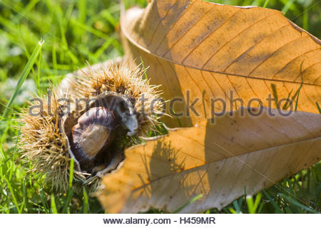 Meadow, sweet chestnuts, leaves, peels, fruits, ripe, autumn, - Stock Photo