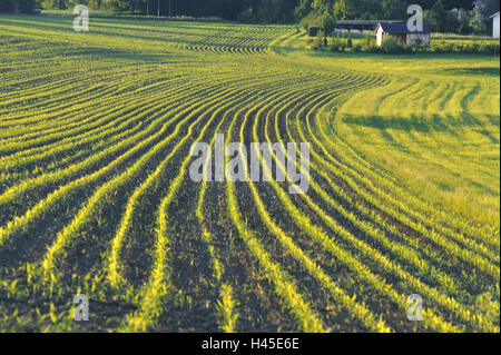 Germany, corn field, maize plants, young, evening light, economy, agriculture, field economy, field, field, green, - Stock Photo
