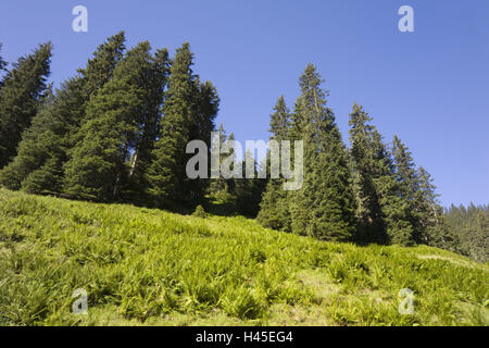 Mountainside, conifers, ferns, - Stock Photo