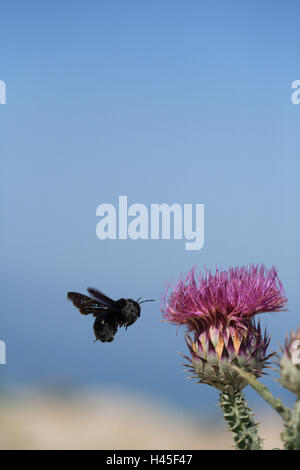 Bumblebee, flight, blossom, thistle, animal, insect, Bombus, approach, fly, food search, nectar, plant, flora, fauna, - Stock Photo