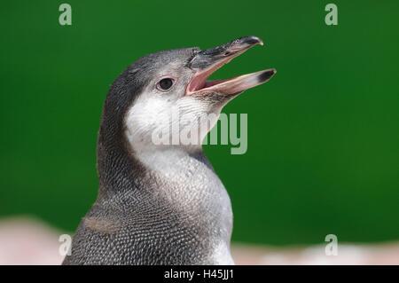 Glass penguin, Spheniscus demersus, portrait, shout, side view, - Stock Photo