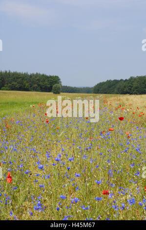 Field, cornflowers, Centaurea cyanus, clap poppy seed, Papaver rhoeas, outside, blossoms, blossom, summer, Germany, - Stock Photo