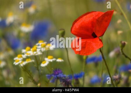 Flower meadow, clap poppy seed, cornflowers, camomile, detail, - Stock Photo