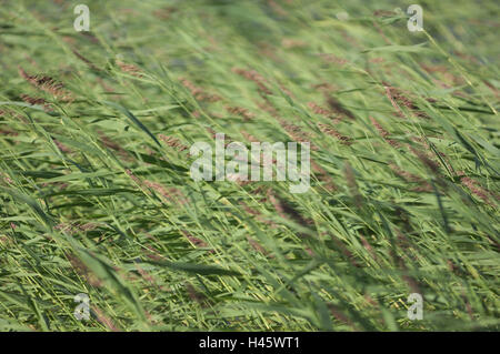 Reed, wind, blow, Finland, Rantasalmi, NP Linnansaari, - Stock Photo
