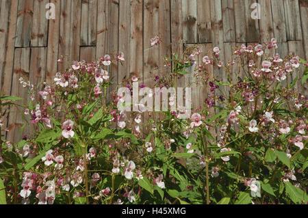 Barn, Springkraut, medium close-up, Finland, Rantasalmi,