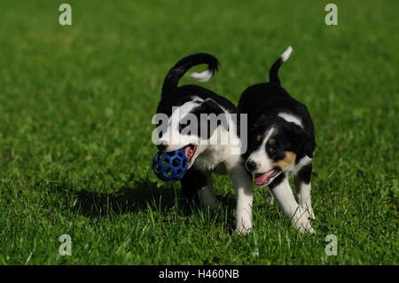 Of Border collie, puppies, meadow, play, - Stock Photo
