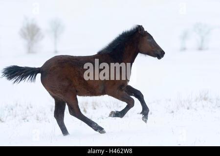 Connemara pony foal in snow - Stock Photo