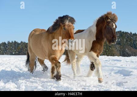Icelandic horses in snow - Stock Photo