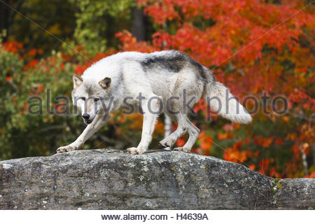 Grey wolf on a rock in front of autumnally coloured maple tree, the USA, Minnesota, - Stock Photo