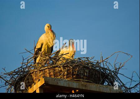 Bird's nest, storks, Ciconia ciconia, two, evening light, - Stock Photo