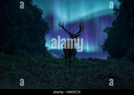 Beautiful landscape image of red deer stag silhouetted against stunning Northern Lights Aurora Borealis night sky - Stock Photo