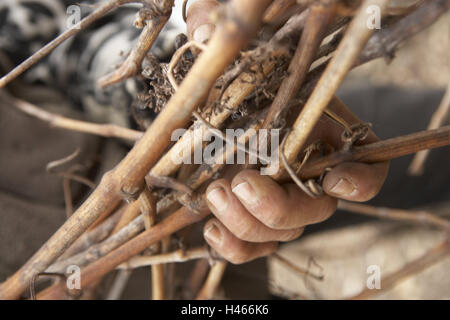 Man, hands, detail, branches, hold, Sancerre, France, winegrower, viticulturist, work, occupation, agriculture, - Stock Photo
