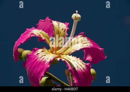 Floss tree, blossom, pink, detail, - Stock Photo