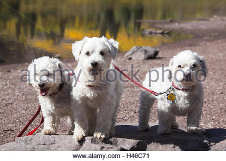 Three white pedigree Havaneser dogs, lakeside, - Stock Photo