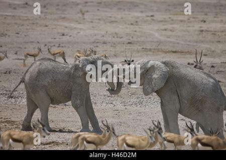 Africa, Namibia, region Oshikoto, Etosha Nationwide park, elephant, Loxodonta africana, young animals, play, - Stock Photo
