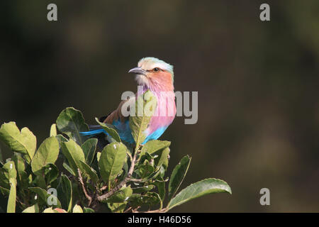 Gabelracke sits on tree, - Stock Photo