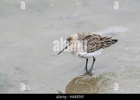 Dunlin (Calidris alpina). First-winter bird foraging on coastal mudflats. Known in North America as the red-backed - Stock Photo