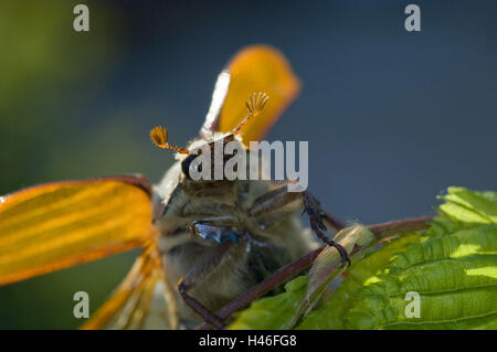 Starting cockchafer in backlight, Melolontha melolontha, close up, - Stock Photo