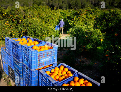 Oranges being harvested into plastic crates by workers in a Spanish orange grove - Stock Photo