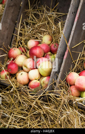 Malus domestica. Apples in a wooden crate. - Stock Photo