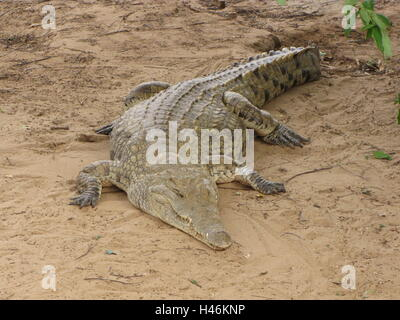 A crocodile on the sandy shows of the galana river in Kenya Tsavo East National Park. - Stock Photo
