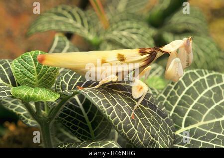 Praying mantis, Orchideenmantis, attack position, - Stock Photo