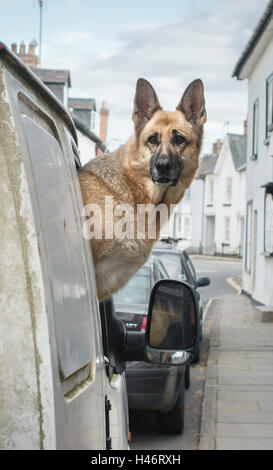 UK. An anxious Alsatian dog (German Shepherd) looking out of the window of a white van, waiting for its owner to - Stock Photo