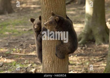 Germany, Hessen, Northern Hessen, game park Tight, bear's enclosure, Jung's bear, trunk, climb, - Stock Photo