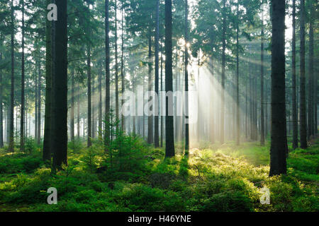 Sun rays in spruce forest, North Eifel Nature Park, Germany - Stock Photo