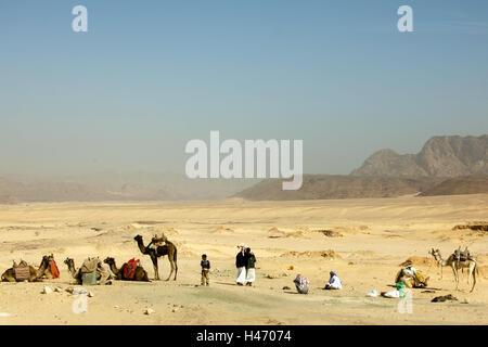 Egypt, Sinai, dromedaries in the street Milga to Nuweiba on the east coast, - Stock Photo