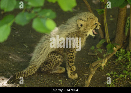 South African cheetah, Acinonyx jubatus jubatus, young animal, - Stock Photo