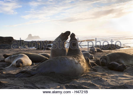 Fight of two Northern elephant seals, Mirounga angustirostris, beach of Piedras Blancas, sunset, San Simeon, California, - Stock Photo