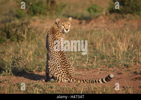Cheetah sits in the savanna, - Stock Photo