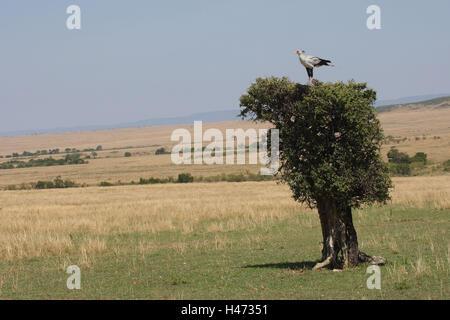 Secretary sits on tree, - Stock Photo