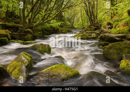 The River Fowey flowing through the moss covered woods at Golitha Falls, Cornwall, England. Spring (May) 2015. - Stock Photo